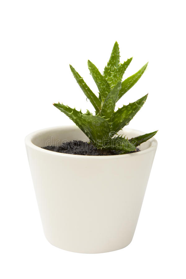 Planta de Vera del áloe en el crisol de arcilla blanco imágenes de archivo libres de regalías