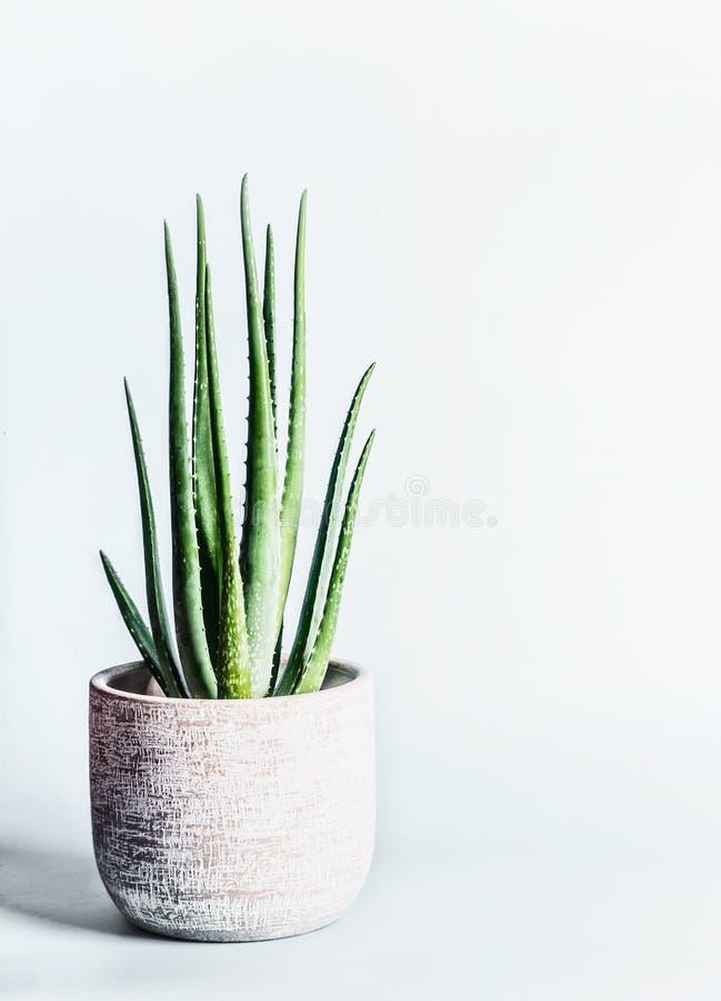 Planta de Vera del áloe en pote de flores en el fondo gris claro Concepto suculento de las plantas interiores de la casa fotos de archivo libres de regalías