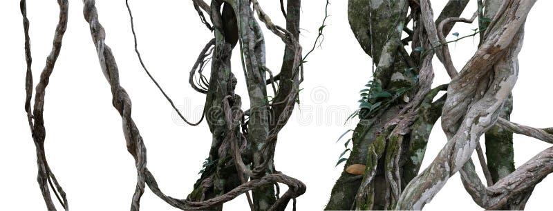 Planta de videiras desarrumado torcida da selva da liana selvagem com musgo, líquene fotos de stock royalty free