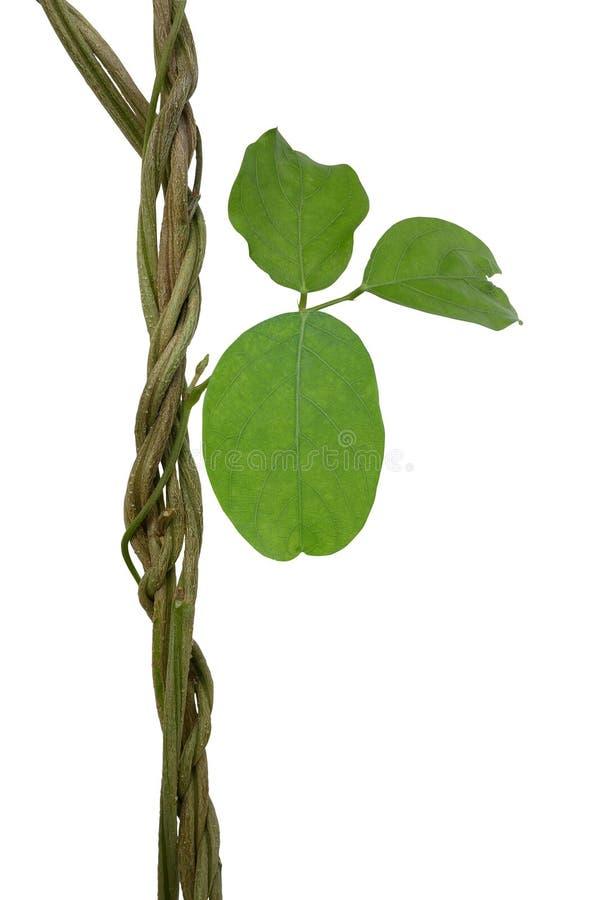 Planta de vides salvaje torcida de la selva de la liana con las hojas verdes del asiático fotos de archivo