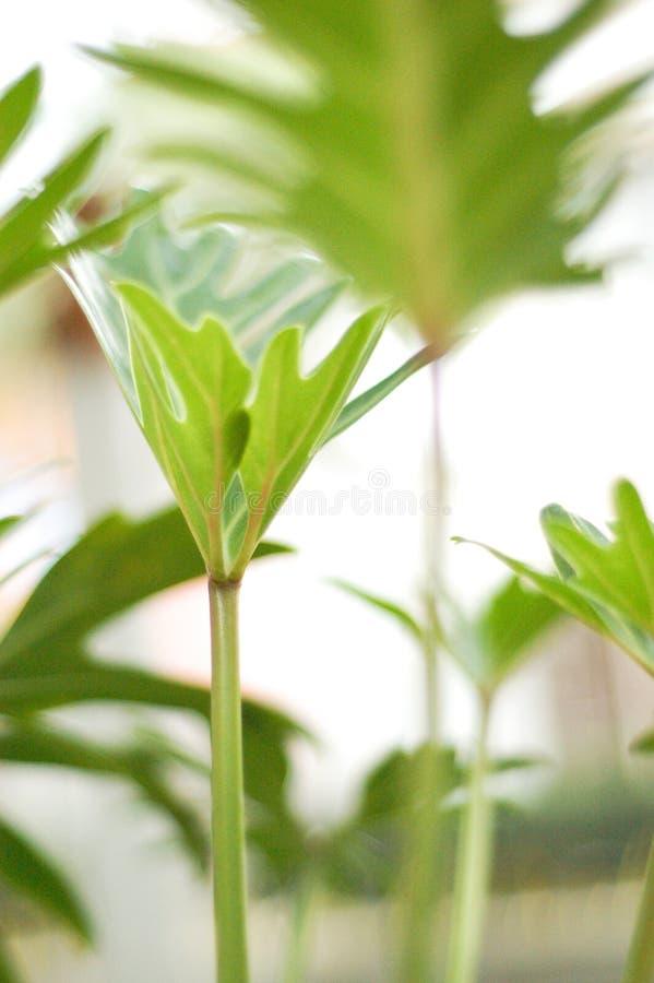 Planta de Xannadu del Philodendron foto de archivo