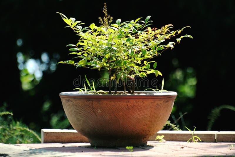 Planta decorativa foto de stock