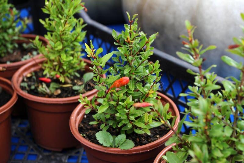 Planta decorativa de la granada Arbusto de la granada Poco houseplant de la granada fotografía de archivo libre de regalías