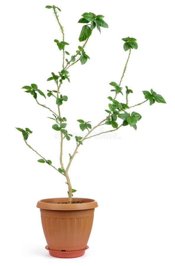 Planta decorativa Home no potenciômetro fotografia de stock royalty free