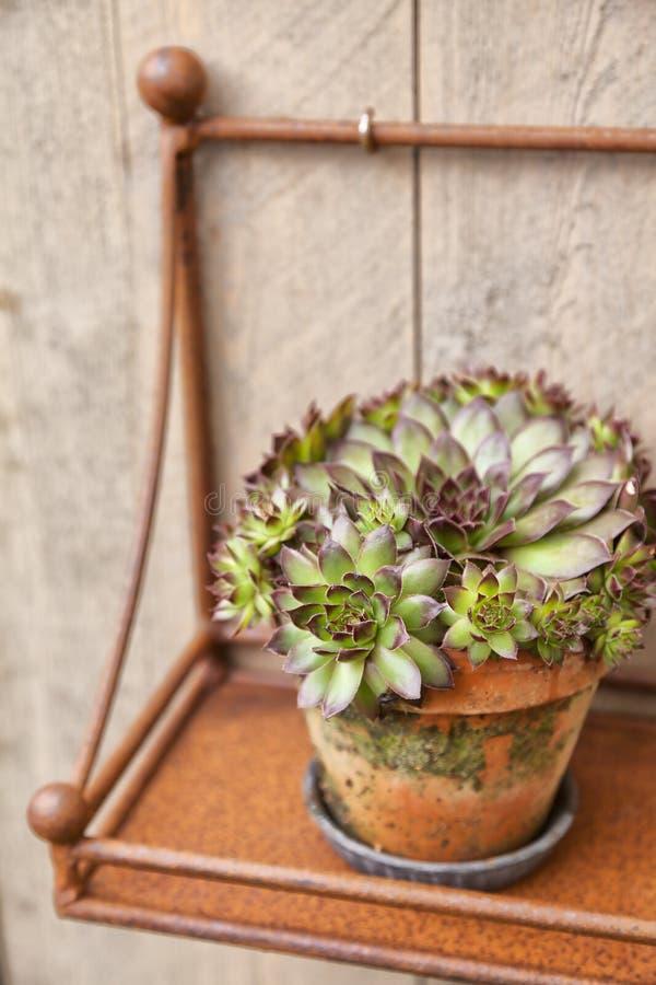 Planta decorativa no potenciômetro oxidado fotos de stock