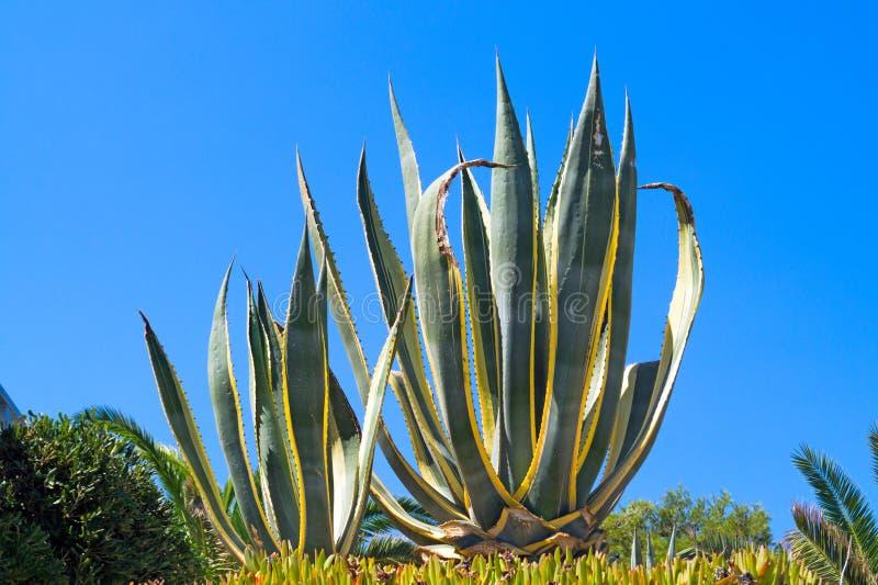 Planta del áloe Vera en el cielo azul foto de archivo