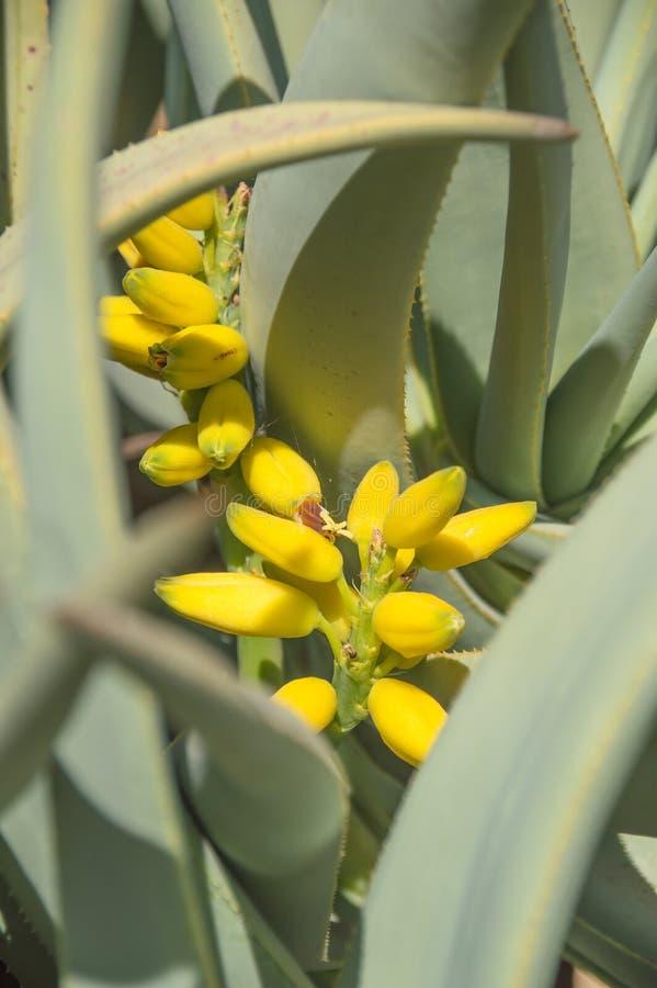 planta del agavo con la flor amarilla fotografía de archivo libre de regalías