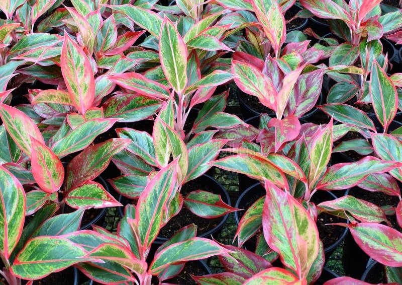 Planta del aglaonema rbol de hoja perenne chino imagen for Plantas hoja perenne