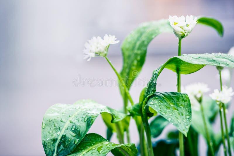 Planta del ajo salvaje con el jardín floreciente im del blanco imagen de archivo libre de regalías