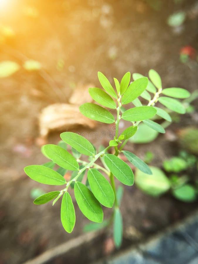 Planta del amarus de Phyllanthus en el jardín de la naturaleza - foco macro fotos de archivo libres de regalías