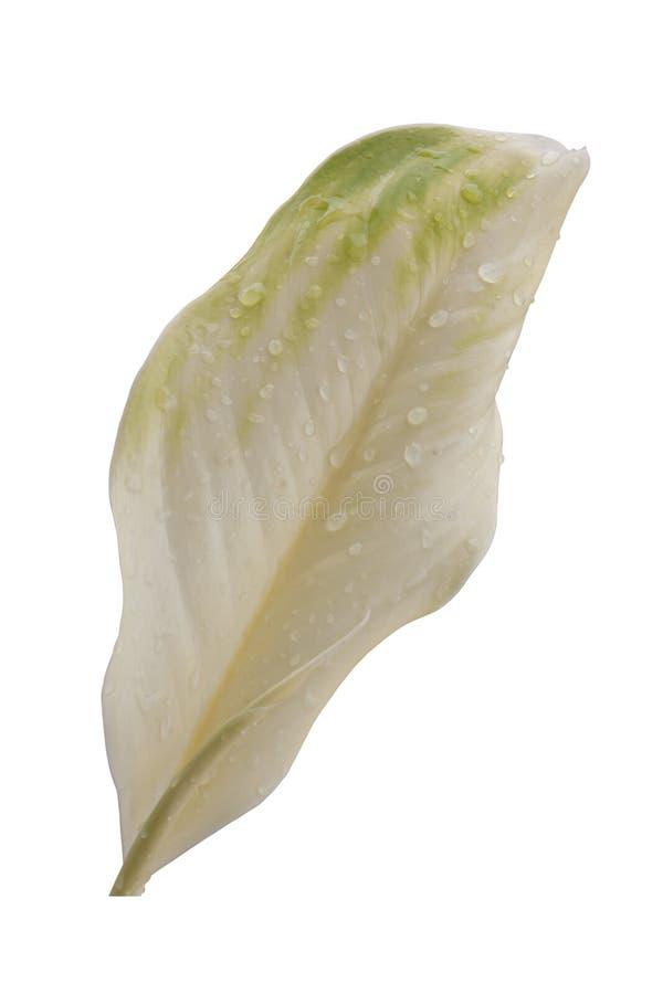 Planta del bastón mudo del brote u hoja fresca del Dieffenbachia aislada en el fondo blanco foto de archivo