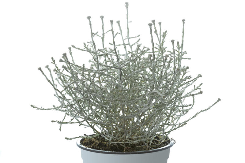 Planta del brownii de Calocephalus en un pote imagenes de archivo