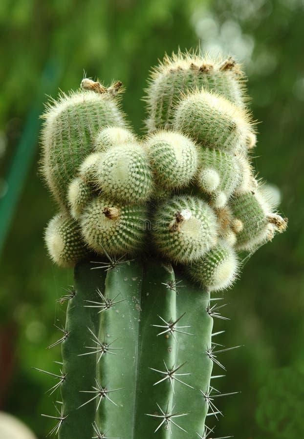 Planta del cactus foto de archivo libre de regalías