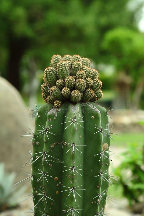 Planta del cactus imagen de archivo libre de regalías