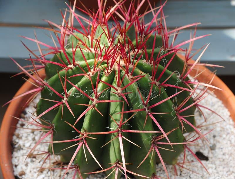 Planta del cactus de barril del grusonii de Echinocactus con los beavertails imagen de archivo