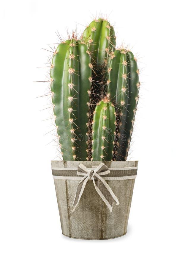 Planta del cactus en florero imagen de archivo libre de regalías