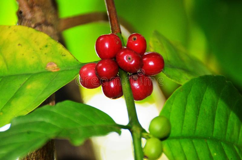 Planta del café con las semillas verdes y rojas fotografía de archivo libre de regalías