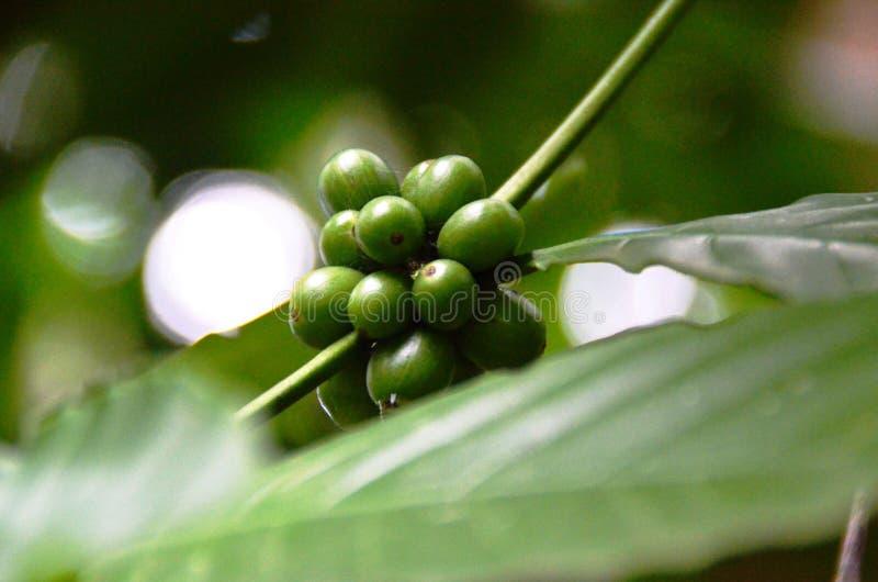 Planta del caf? con las semillas verdes foto de archivo libre de regalías