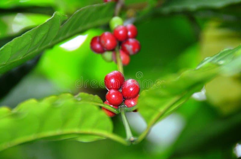 Planta del caf? con las semillas verdes y rojas fotos de archivo