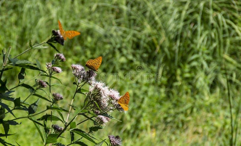 Planta del cardo con tres mariposas de Aglaia en fila imagen de archivo