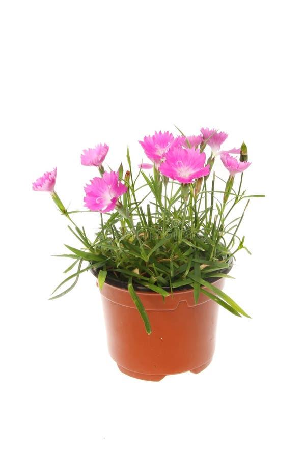 Planta del clavel en un pote imagen de archivo libre de regalías