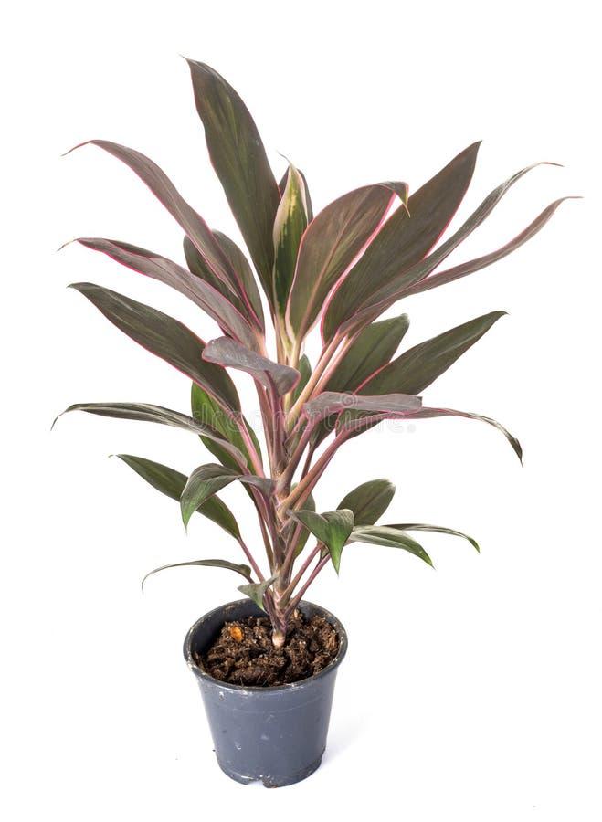 Planta del Cordyline en estudio fotografía de archivo