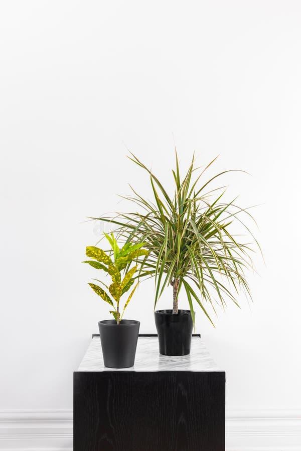 Planta del Croton y árbol de dragón de Madagascar en potes negros imagen de archivo