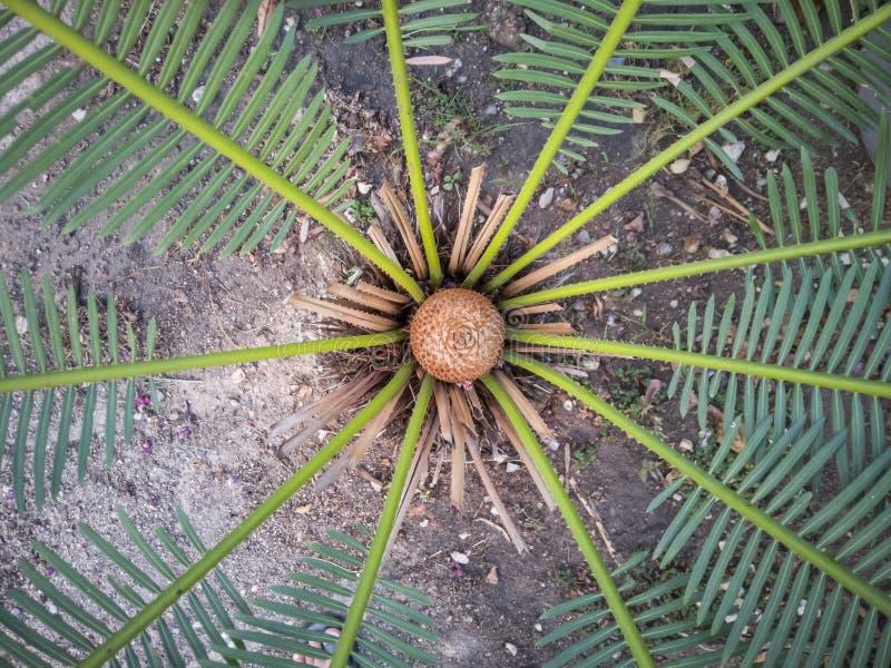 Planta del Cycad en el jardín imagenes de archivo