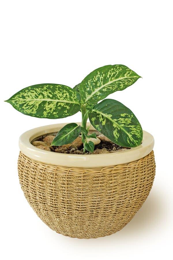 Planta del Dieffenbachia en crisol del bastón fotos de archivo libres de regalías