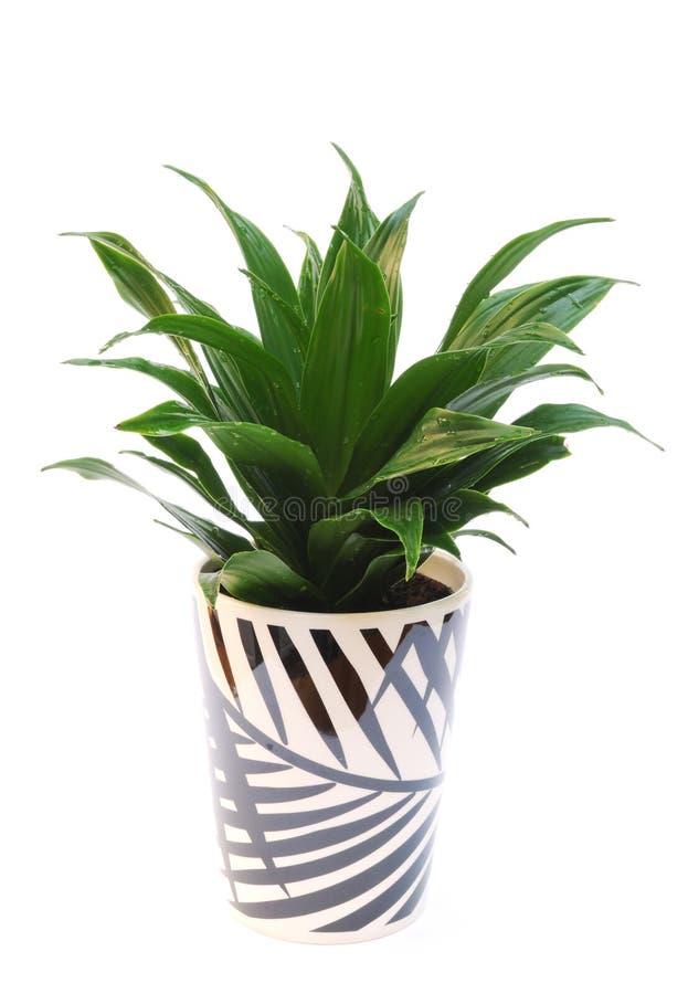 Planta del Dracaena en el crisol aislado en blanco fotos de archivo