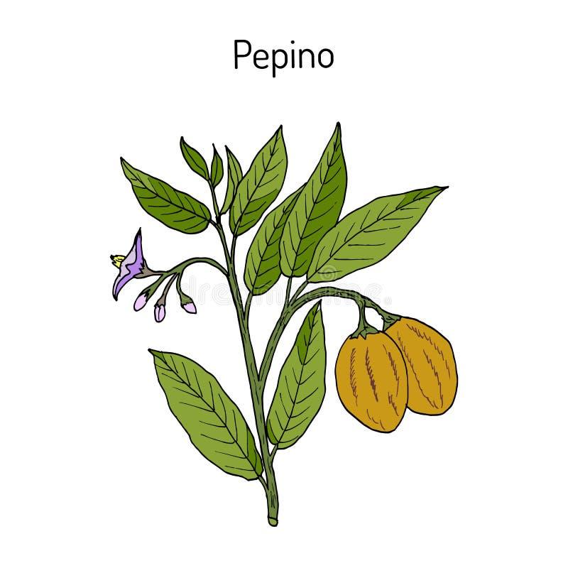 Planta del dulce de Pepino, comestible y medicinal stock de ilustración