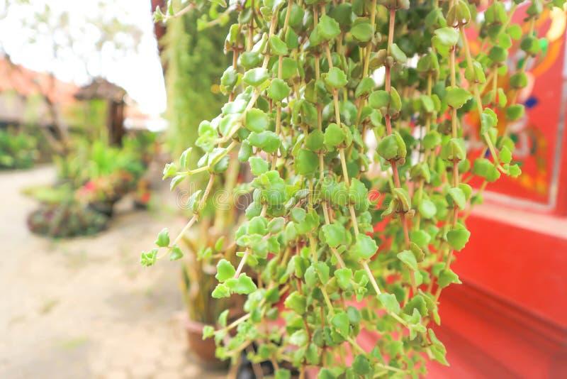 Planta del escalador o gancho del podagrica del Jatropha imagenes de archivo