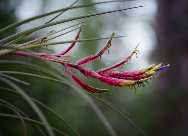 Planta del fuego de Bromiliad que fluye fotos de archivo libres de regalías