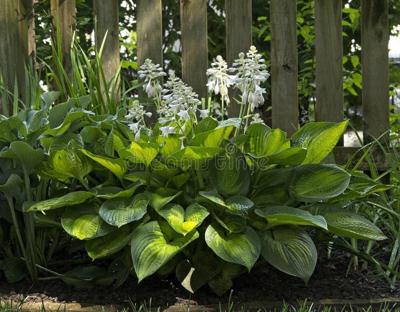 Planta del Hosta con las hojas y Lily Stalks abigarradas foto de archivo