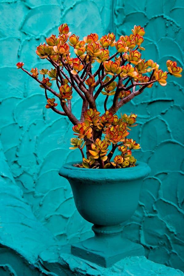 Planta del jade foto de archivo libre de regalías