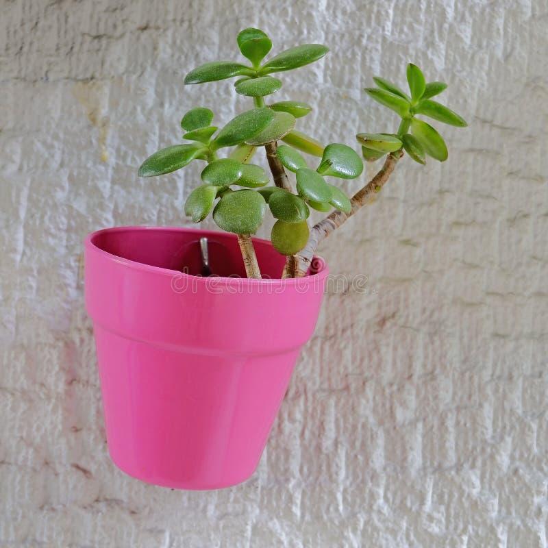 planta del jade de la 'buena suerte 'en la maceta coloreada violeta que cuelga en la pared blanca imágenes de archivo libres de regalías