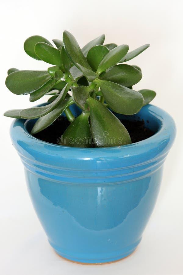 Planta del jade en crisol azul imagen de archivo libre de regalías
