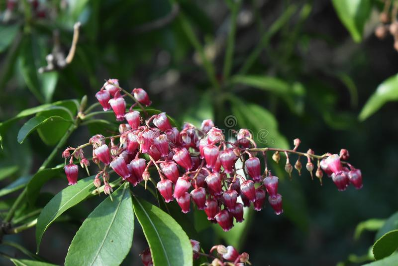 Planta del japonica del Pieris que crece en el jardín fotografía de archivo libre de regalías