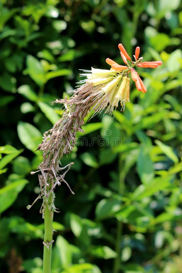 Planta del Kniphofia o de Tritoma con el punto parcialmente secado de flores brillantemente coloreadas verticales en sombras del  fotografía de archivo libre de regalías