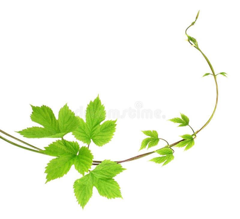 Planta del Liana imagen de archivo