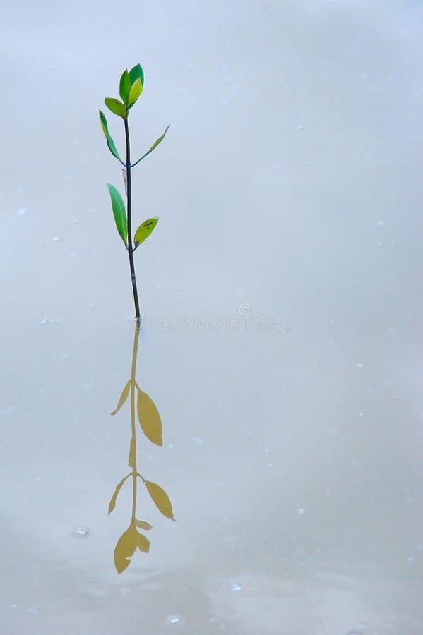 Planta del mangle con la reflexión en el agua foto de archivo libre de regalías