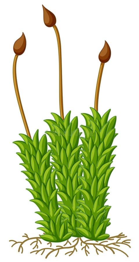 Planta del musgo con las raíces stock de ilustración