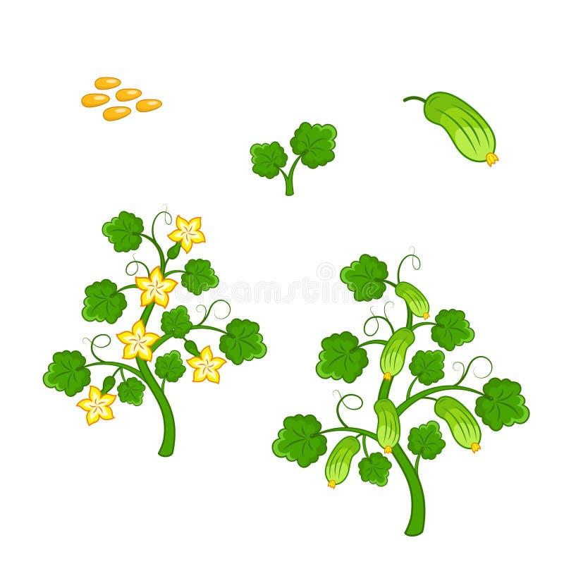Planta del pepino con las semillas y las flores stock de ilustración
