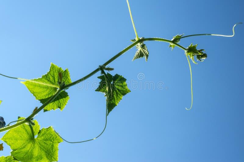 Planta del pepino con los zarcillos y las flores fotos de archivo
