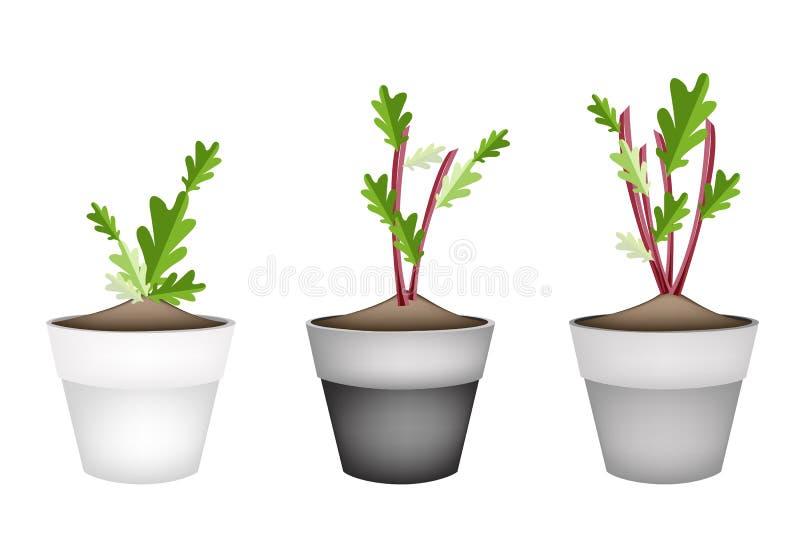 planta del rbano o de la remolacha en macetas de cermica