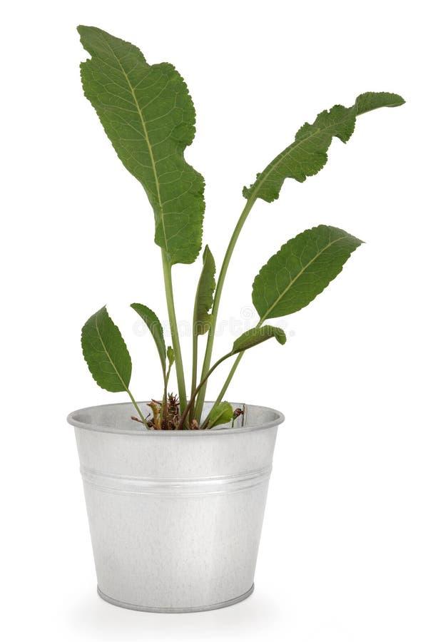 Planta del rábano picante fotografía de archivo libre de regalías