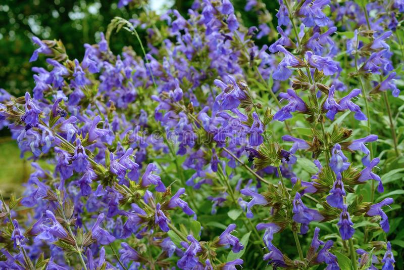 Planta del sabio común en flor foto de archivo libre de regalías