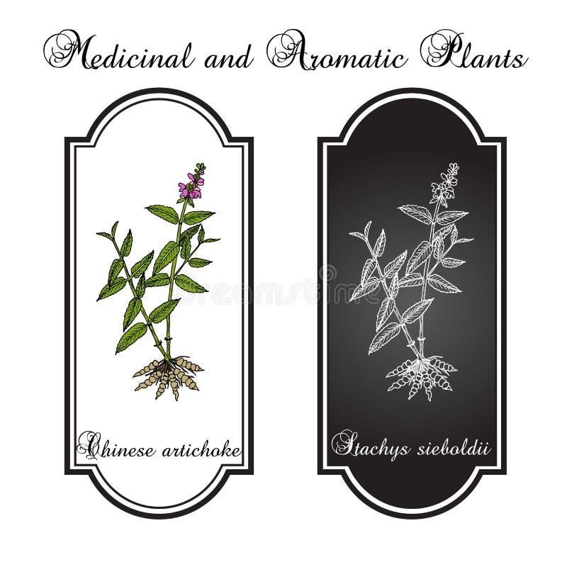 Planta del sieboldii del stachys de la alcachofa china, comestible y medicinal libre illustration