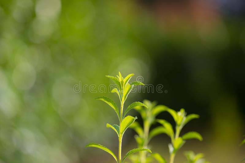 Planta del Stevia, edulcorante sano y substituto natural del azúcar El foco selectivo en verde enorme joven se va por la agricult imágenes de archivo libres de regalías