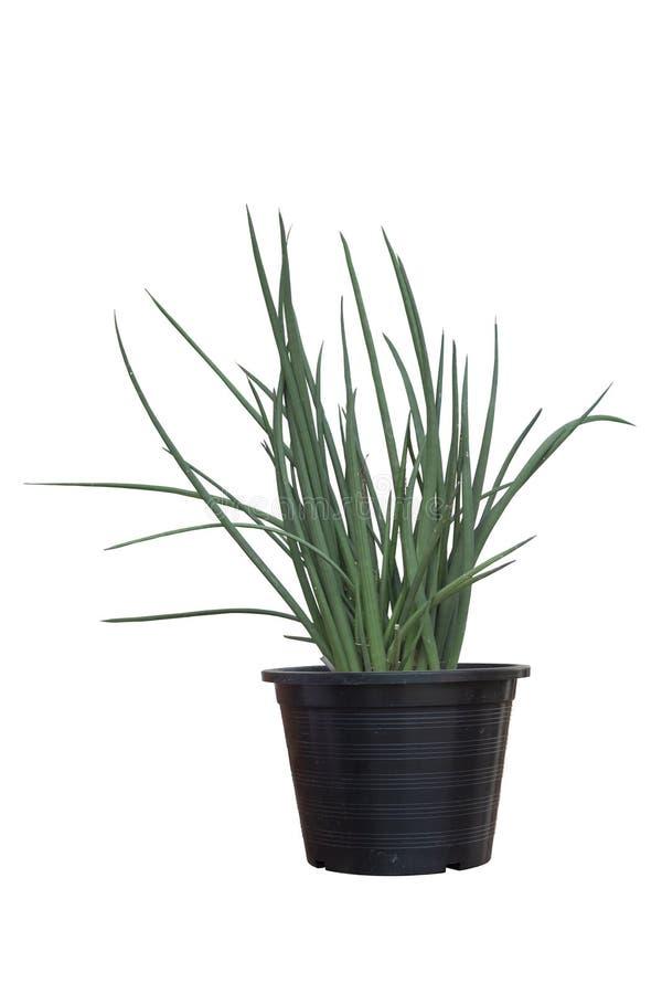 Planta del stuckyi del Sansevieria en el pote plástico negro aislado en el fondo blanco fotos de archivo